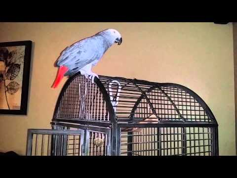 Paco my  african grey parrot