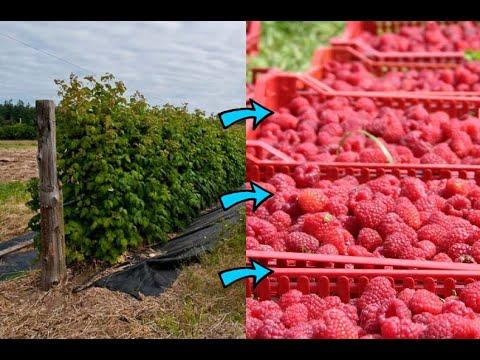 МАЛО СОБИРАЕШЬ МАЛИНЫ? Как сделать чтобы малины было очень много? Сделай это и малины будет гора! | выращивание | плодоносит | выращиваем | шпалере | шпалера | вкусная | рецепт | огород | малины | малину