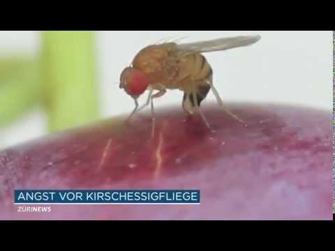 Drosophila suzukii auch in Küsnacht