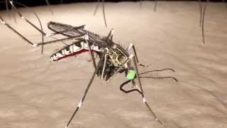 Anatomy of a Mosquito Part 1: The structures of the head