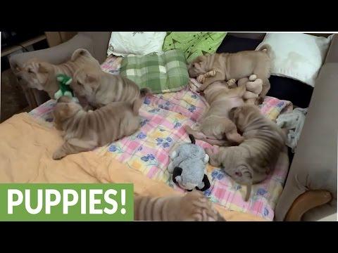 Shar Pei puppy litter overload will brighten your day