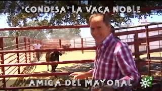 Vaca brava amiga del mayoral de Castillo de Azuel | Toros desde Andalucía