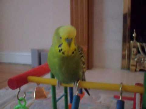 Papagei the budgie chattering