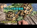 ヘルマンリクガメ ベランダ飼育環境 の動画、YouTube動画。