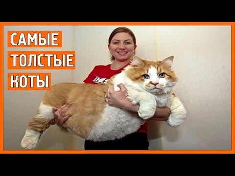 толстые коты видео приколы
