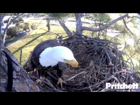 SWFLEagles~Building A Log Cabin & A Fish Delivery~10-25-14