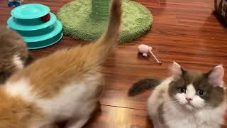 RagaMuffin KittensGalaxy 11.5wksImperial Rags