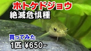 ドジョウ水槽【絶滅危惧種】日本淡水魚