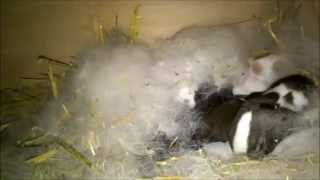 Littles rabbits Sleeps on Rabbit Nest Box THE CUTEST VIDEO EVER