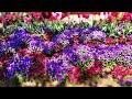 В Беларуси к праздникам вырастили новые сорта цветов
