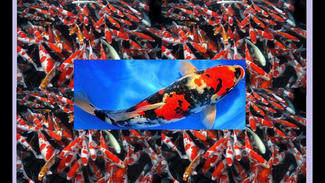 Ikan Cupang Koi Termahal