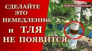 видео тля на яблоне: как бороться во время цветения