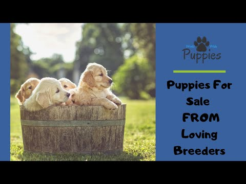 Puppies For Sale  - This Is How Worldwidepuppies Com Works