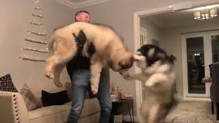ALASKAN MALAMUTES EXCITED SEEING THEIR DAD COME HOME