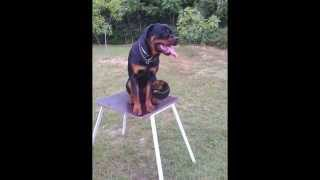 Rottweiler Barney Od Vadanora - Slajdovi Poligon Ljeto 2013-2014 G.