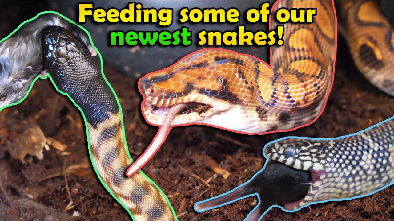 Feeding the New Snakes we got in 2020!
