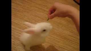 Белого голубоглазого крольчонка учат трюкам (г.Казань)