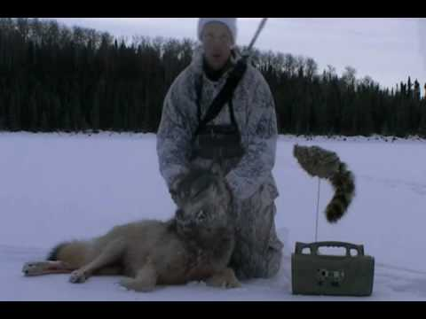 Predator Calling-Wolf Called In On Film