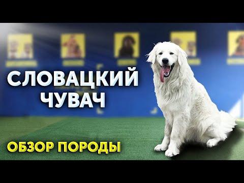 Словацкий чувач   Что за собака?   Обзор породы   Неожиданные особенности   Школа для собак DRED