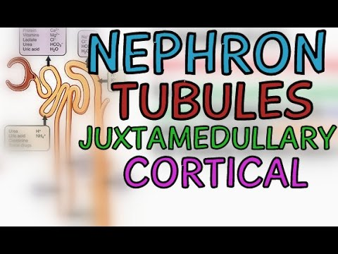 The Nephron Tubule of the Kidney  - Cortical and Juxtamedullary Nephrons