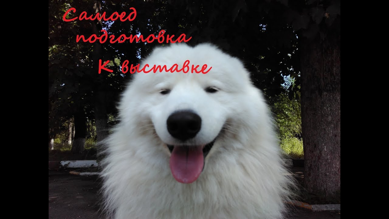 Самоед в цирке. Samoyed In The Circus - YouTube