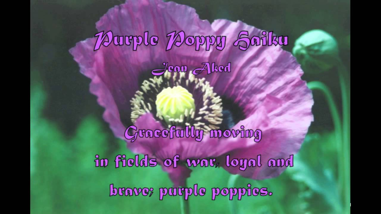 Purple poppy haiku poetry by jean aked youtube purple poppy haiku poetry by jean aked mightylinksfo