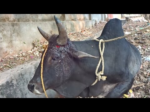 Bull grew but the rope did not, healing an excruciating wound