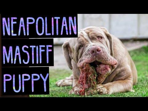 Neapolitan Mastiff Puppy - Vicious Mastiff - Mastiff Breeds - Guard Dog
