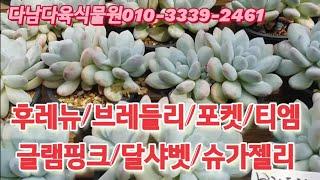 후레뉴/브레들리/포켓/티엠/글램핑크/달샤벳/슈가젤리   다남다육식물010-3339-2461