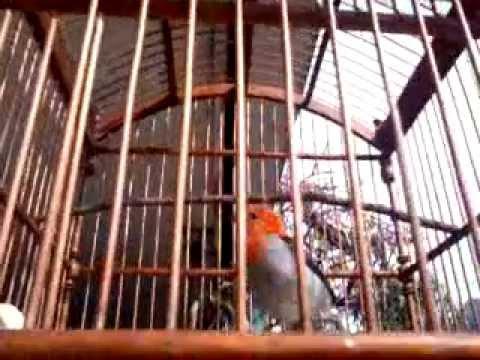 Cabe Jawa-Kemlade-Scarlet Headed Flowerpecker