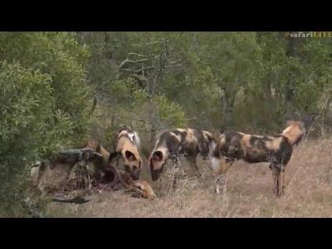Pt 2  Safari Live's Sunrise Safari Drive at 8:00 AM on May 26, 2017 ( Wild Dogs & Lions )