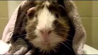 Hilarious! This Guy Interviews His Guinea Pig Funny Videos HD Videos Funny Pranks Funny Videos 2014