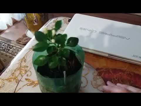 Вопрос: Почему не распускаются бутоны у этого цветка?