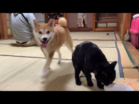 病院帰りの荒ぶる柴犬、猫は通常営業 Excited Dog and Calm Cat