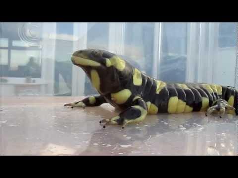 Tiger Salamander eats his first pinky mouse!