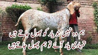 kharidari Mirpur Azad Kashmir Jhelum animal sale ho gaye hain 03410341995