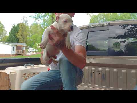 American Bully : FTB FLOOD & puppy 4 sale