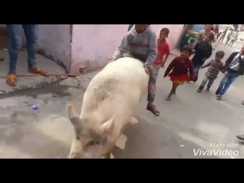 Small Child  Ride on Pig funny Video