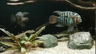 Krobia xinguensis