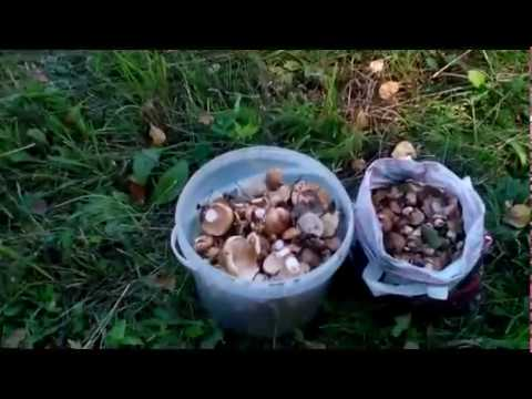 Как выглядит подтопольник гриб