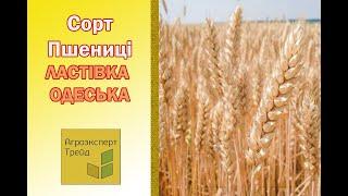 Озимая Пшеница Ласточка Одесская 🌾, описание сорта 🌾 - семена в Украине