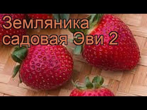 Земляника садовая Эви 2 (fragaria ananassa) 🌿 Эви 2 обзор: как сажать, рассада земляники Эви 2