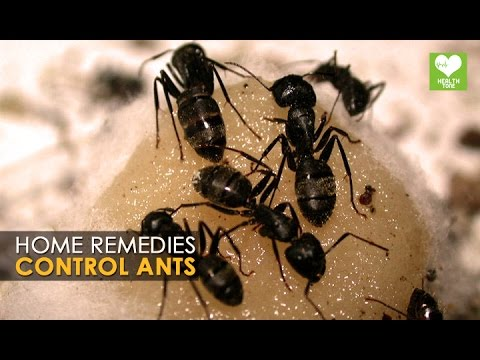 pest control ants home remedies health tips youtube. Black Bedroom Furniture Sets. Home Design Ideas