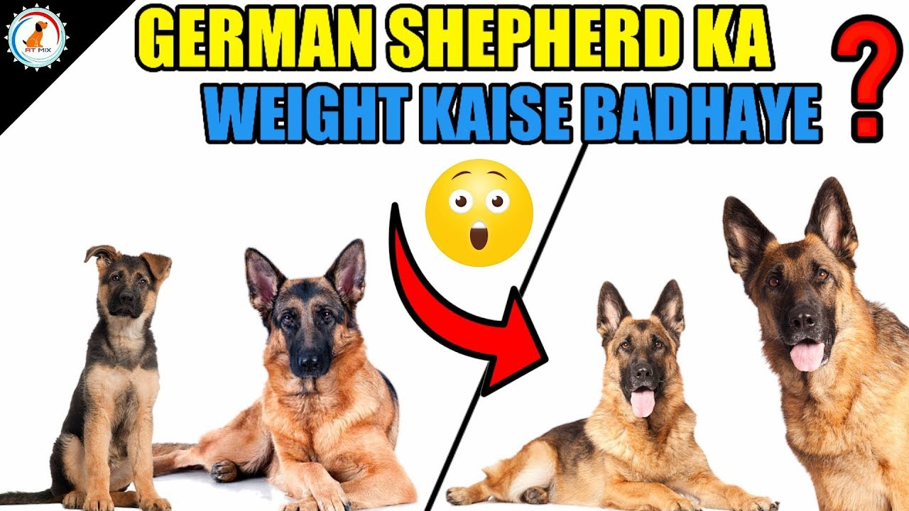 pierdere în greutate shepherd german)