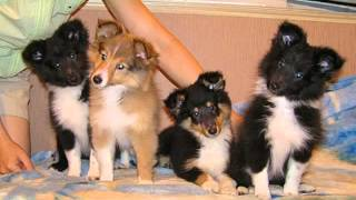 Собаки и щенки породы Шелти