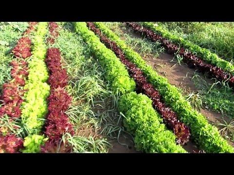 Organic Leaf Lettuce Production, Farm to Mouth | Jason Asselin