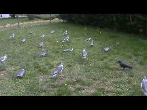 mes apellants pour pigeons ramier youtube. Black Bedroom Furniture Sets. Home Design Ideas
