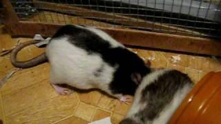 Rats get tickled!