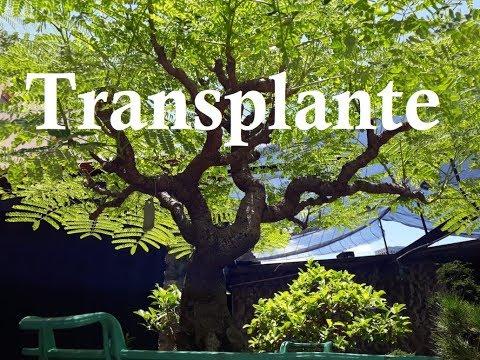 Transplante do Flamboyant (A-6)