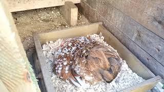 Karzełki Kochin, kwoka i nowa woliera dla papug.